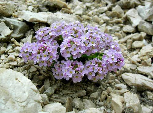 <b><i>Thlaspi rotundifolium