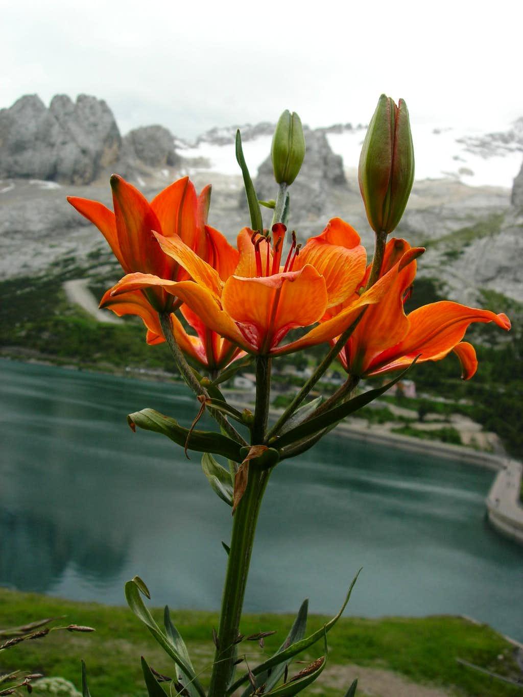 Orange Lily <b><i>Lilium bulbiferum