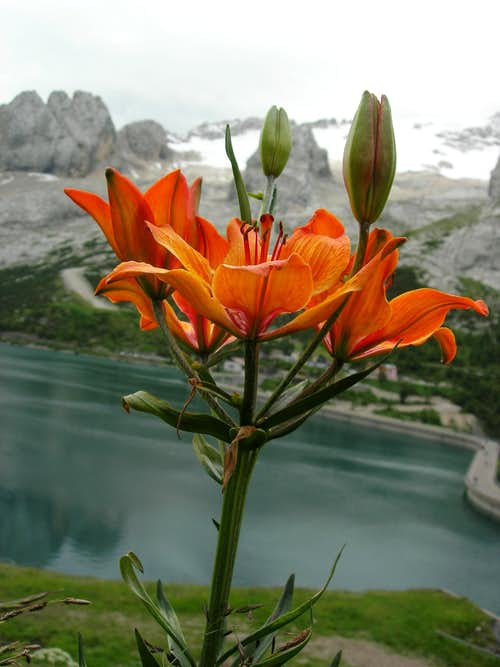 Orange Lily <b><i>Lilium bulbiferum