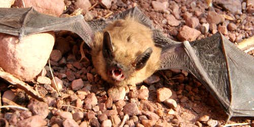 Bat in Grand Canyon