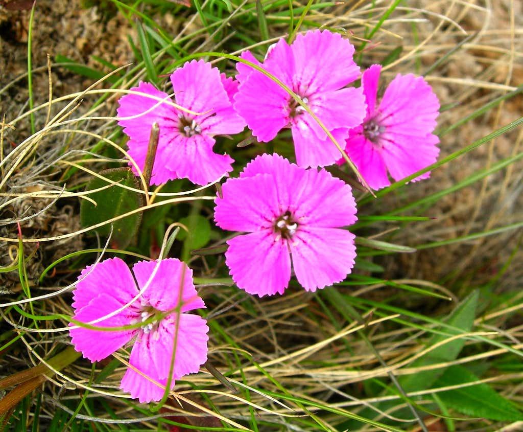 Alpine Pink <b><i>Dianthus alpinus