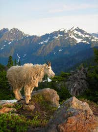 Olympic Mountain Goats