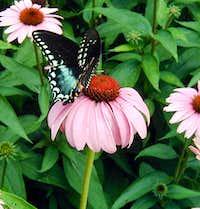 Spicebush Swalowtail