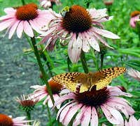 Great Spangled Fritallary
