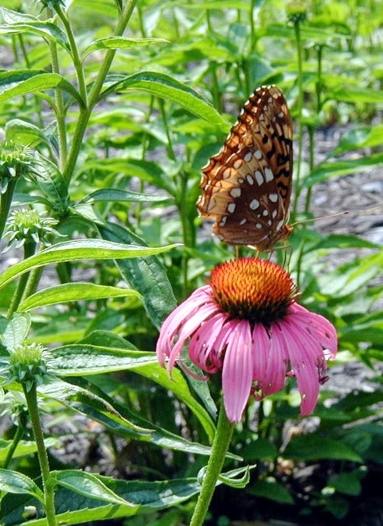 Butterflies of the Catoctin Mountains