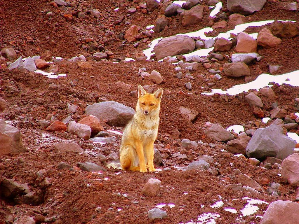 Andean wolf (fox) near the glacier.