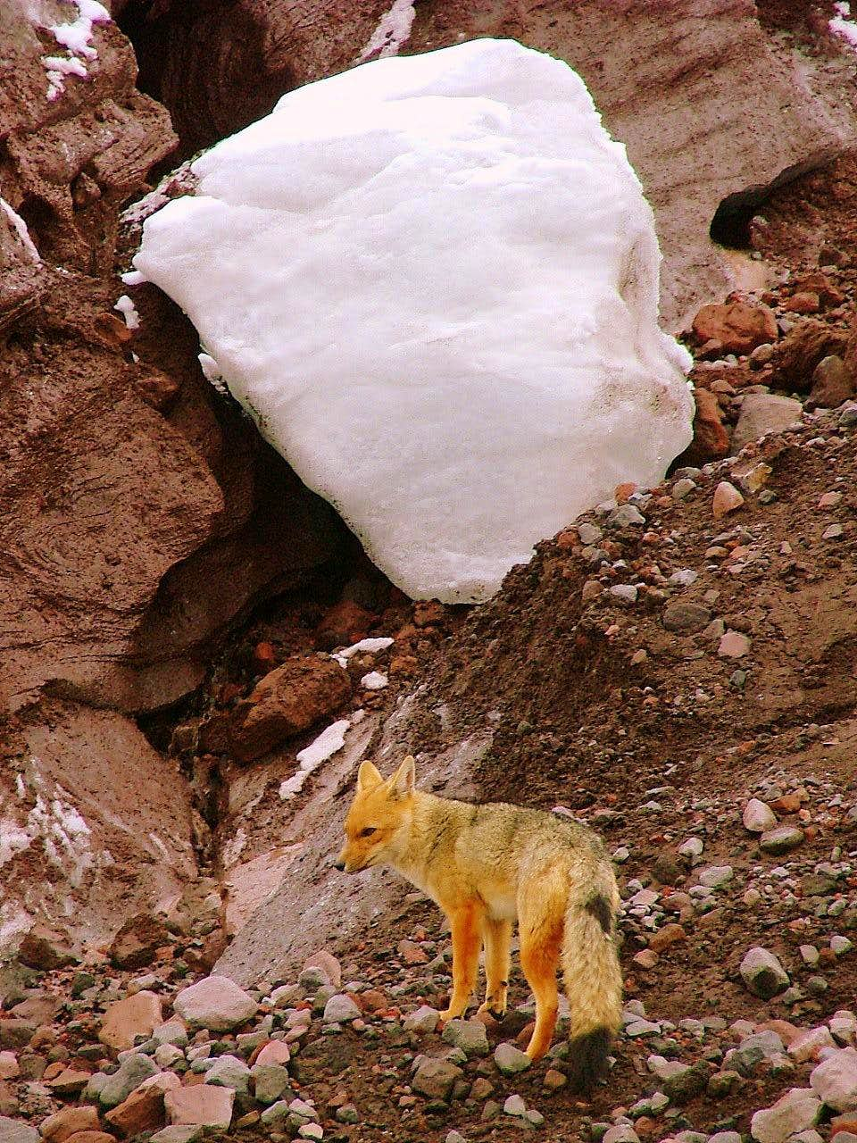 Andean wolf (fox) at Cotopaxi's glacier.