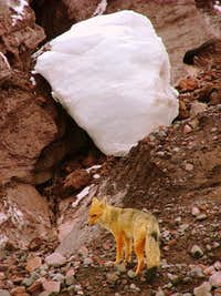 Andean wolf (fox) at Cotopaxi\'s glacier.
