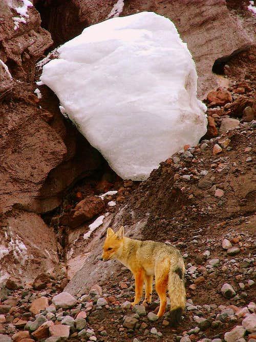 Andean wolf (fox) at Cotopaxi's glacier.
