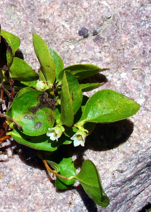 Creeping false-wintergreen in bloom