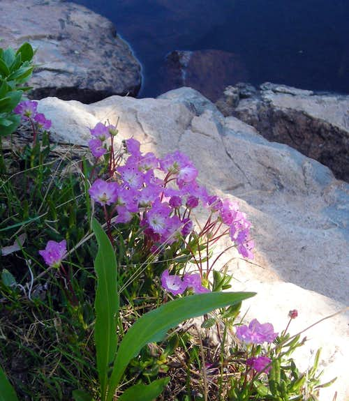 Alpine bog-laurel