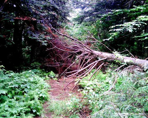 Blowdown on Trail