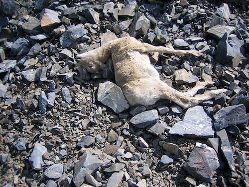 Baby Bighorn- Dead
