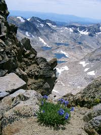 Flowers on the Summit of Lyell