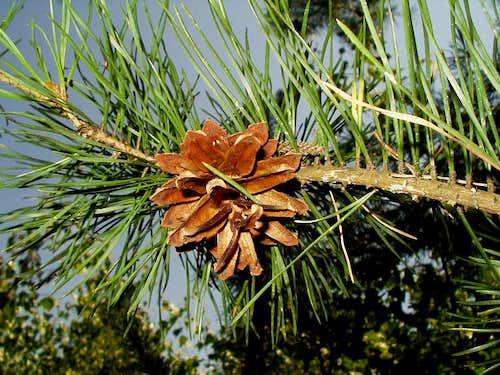 Open Pine Cone of Pinus Sylvestris