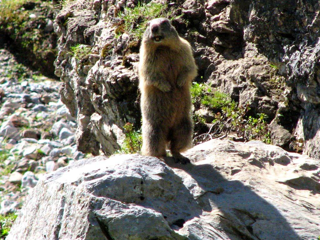 An alpine marmot