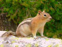Grand Teton National Park Golden-mantled Ground Squirrel