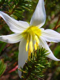 Lily with Fir Needles