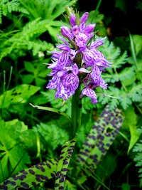 Alpen Orchid