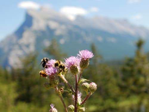 Bees and Mount Rundle