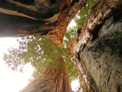 The Three Sequoias