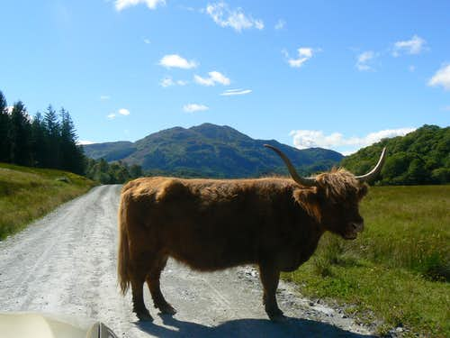 Highland Cow and Ben Venue