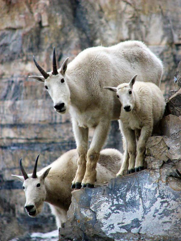 R Goats Mountain Goat Family :...