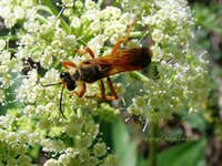 Wasp on Rough Angelica