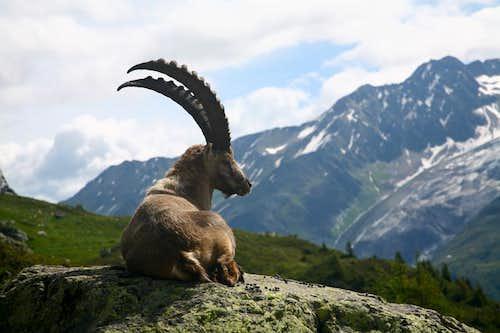 Steinbock(Ibex)