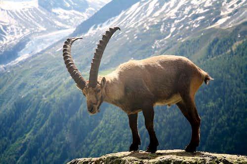 Steinbock(Ibex), behind the Mer de Glace...