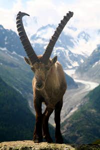 in june, Steinbock(Ibex) in front of  the Mer de Glace