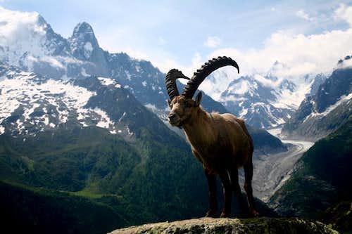 Steinbock(Ibex) behind the Mer de Glace