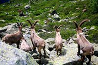 Steinbock(Ibex), who`s that feller?