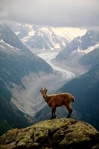 baby ibex and  the Mer de Glace.
