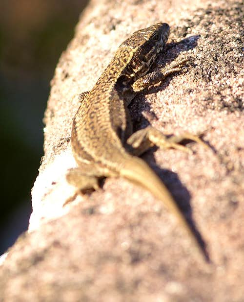 Female Wall Lizard