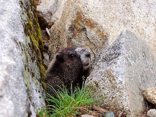 Stevens Marmot