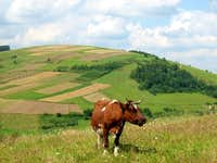 Low Beskid Cow