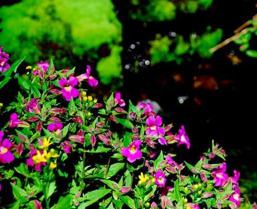 Arrowleaf Senicio and Pink Monkeyflower