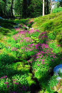 Pink Monkeyflower and Stream