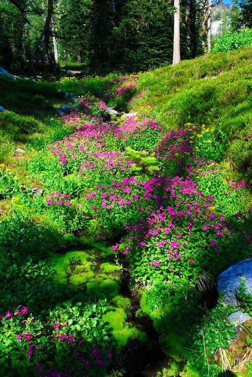 Pink Monkeyflower and Stream