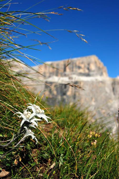 Edelweiss and Pale Mountains