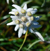 Edelweiss, flowers from the Moon