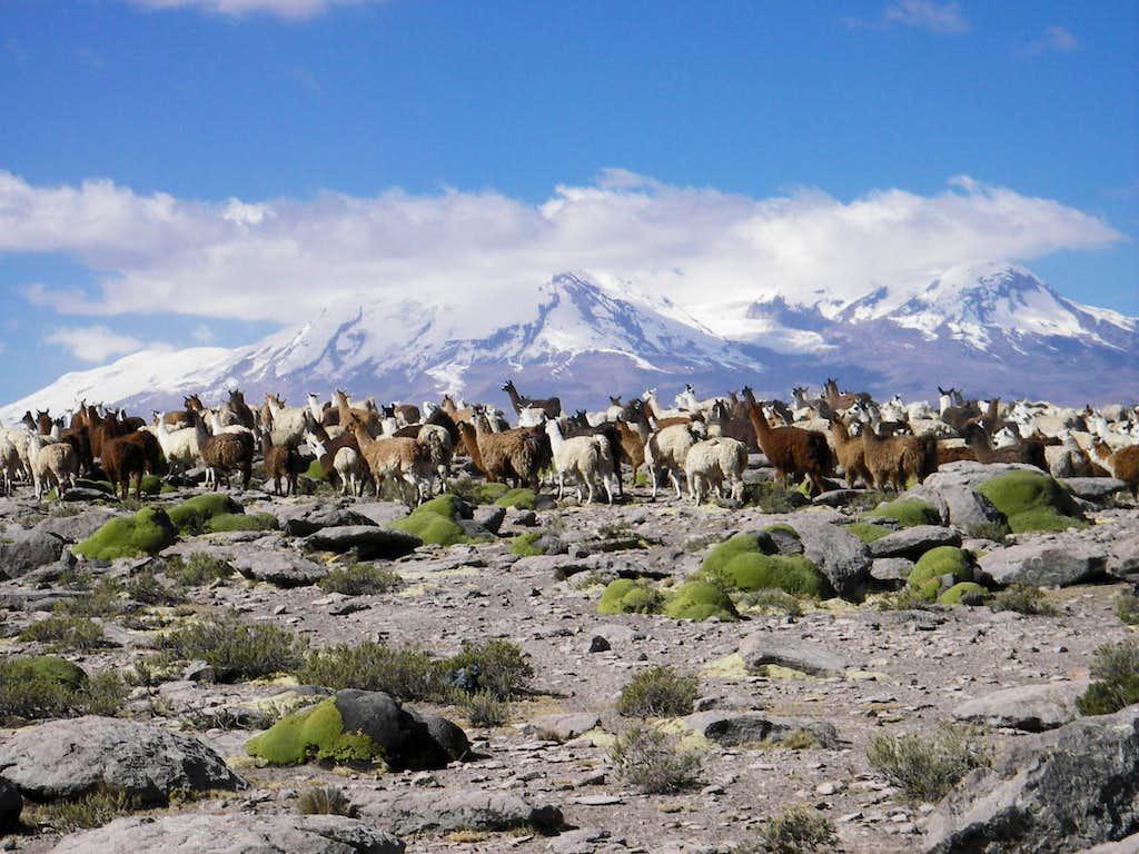 Llamas in Front of Nevado Coropuna