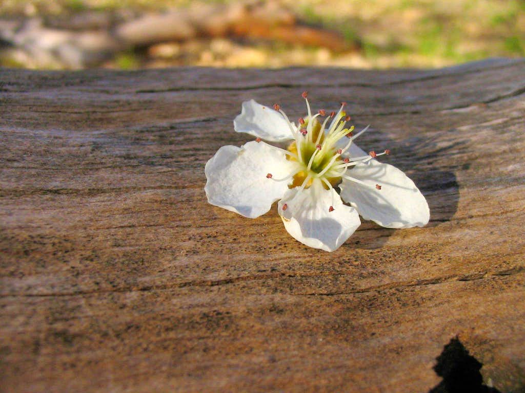A Special Apple Blossom