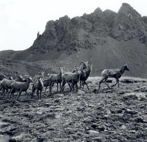These bighorn sheep followed...
