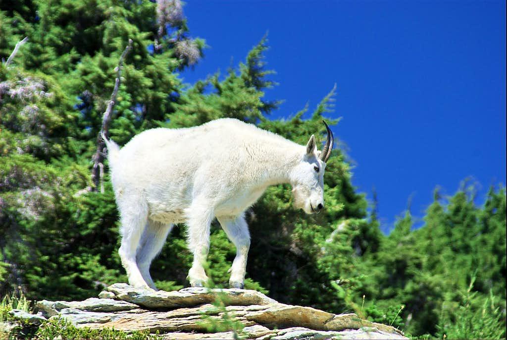 Mountain Goat on St.Paul Peak