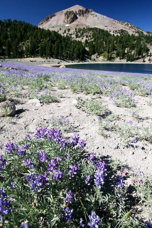 Blue-pod Lupine and Lassen Peak