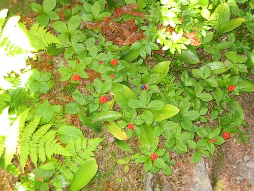 Berries trailside