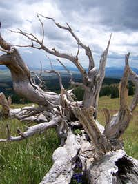 Ghost tree, Silverheels South Ridge Route