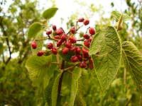 Ostorménfa/Viburnum lantana